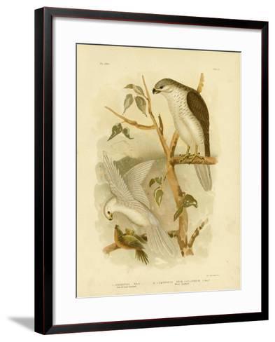 New Holland Goshawk, 1891-Gracius Broinowski-Framed Art Print