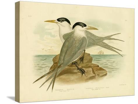 Torres Straits Tern, 1891-Gracius Broinowski-Stretched Canvas Print