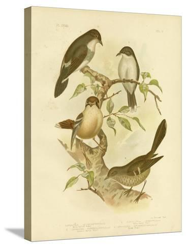 White-Bellied Robin, 1891-Gracius Broinowski-Stretched Canvas Print