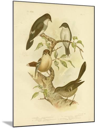 White-Bellied Robin, 1891-Gracius Broinowski-Mounted Giclee Print