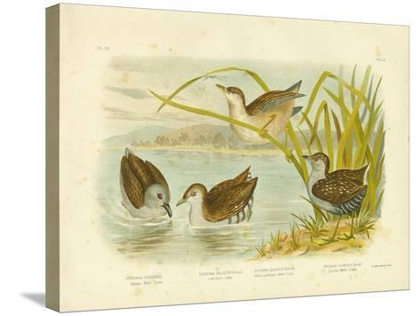 Tabuan Water Crake or Sooty Crake, 1891-Gracius Broinowski-Stretched Canvas Print