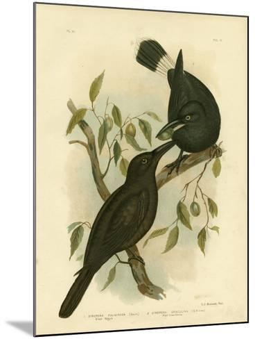 Black Magpie or Black Currawong, 1891-Gracius Broinowski-Mounted Giclee Print
