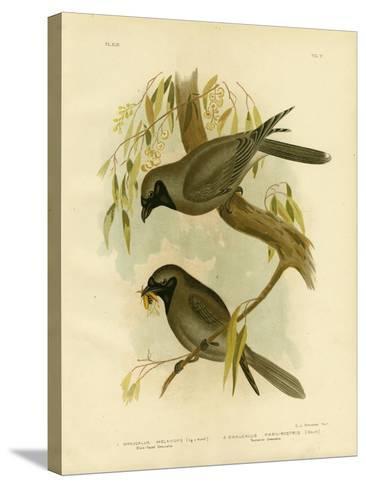 Black-Faced Shrike, 1891-Gracius Broinowski-Stretched Canvas Print