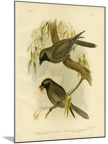 Black-Faced Shrike, 1891-Gracius Broinowski-Mounted Giclee Print