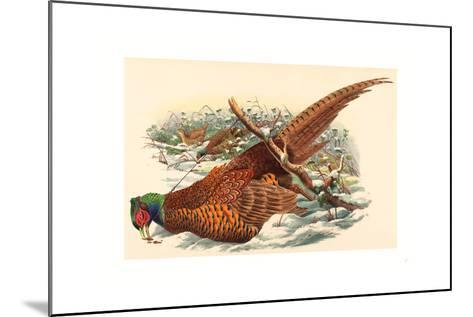 Phasianus Colchicus (Ring-Necked Pheasant), Colored Lithograph- Gould & Hart-Mounted Giclee Print
