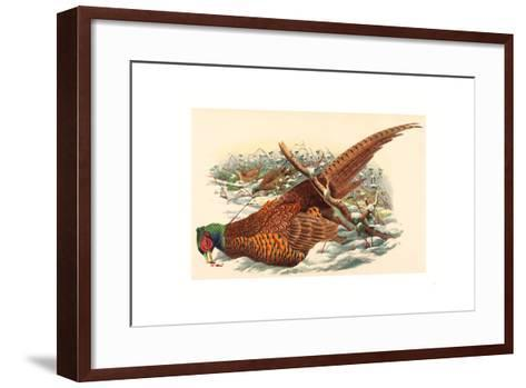 Phasianus Colchicus (Ring-Necked Pheasant), Colored Lithograph- Gould & Hart-Framed Art Print