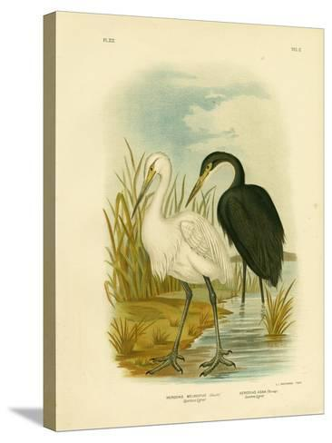 Spotless Egret or Little Egret, 1891-Gracius Broinowski-Stretched Canvas Print