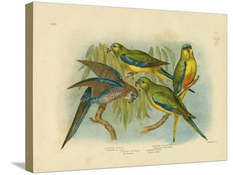 Orange-Bellied Grass-Parakeet, 1891-Gracius Broinowski-Stretched Canvas Print