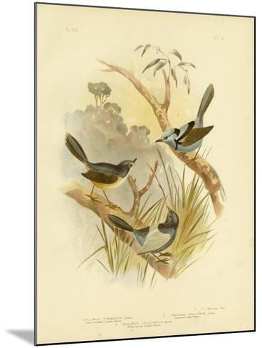 Fawn-Breasted Superb Warbler, 1891-Gracius Broinowski-Mounted Giclee Print