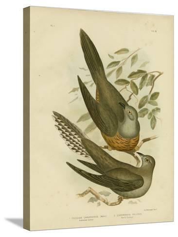 Australian Cuckoo, 1891-Gracius Broinowski-Stretched Canvas Print