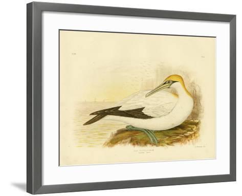 Australian Gannet, 1891-Gracius Broinowski-Framed Art Print