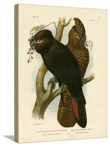 Great-Billed Black Cockatoo, 1891-Gracius Broinowski-Stretched Canvas Print