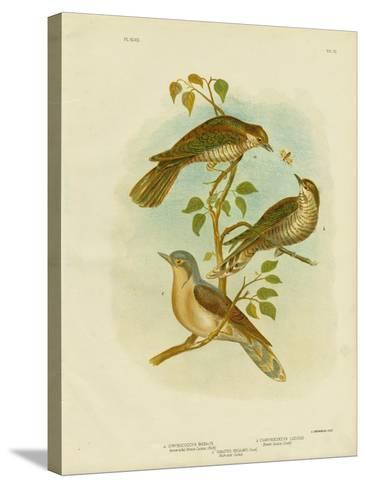 Narrow-Billed Bronze Cuckoo, 1891-Gracius Broinowski-Stretched Canvas Print