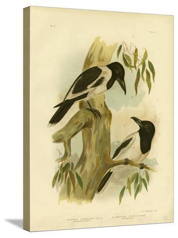 Black-Throated Crow-Shrike, 1891-Gracius Broinowski-Stretched Canvas Print