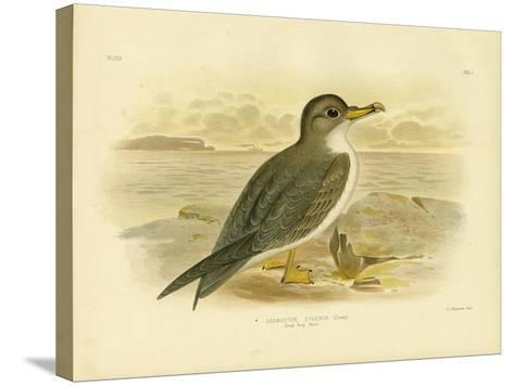 Great Grey Petrel, 1891-Gracius Broinowski-Stretched Canvas Print