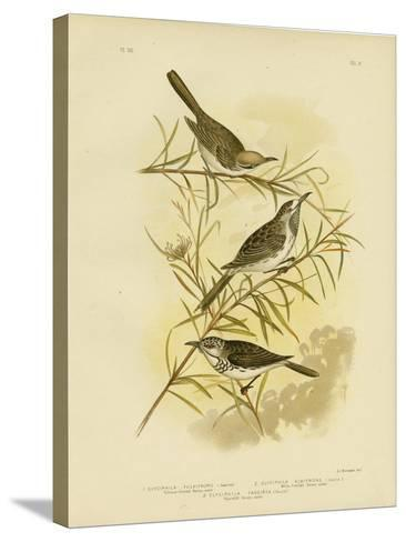 Fulvous-Fronted Honeyeater, 1891-Gracius Broinowski-Stretched Canvas Print