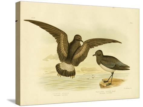 Yellow-Webbed Storm Petrel, 1891-Gracius Broinowski-Stretched Canvas Print