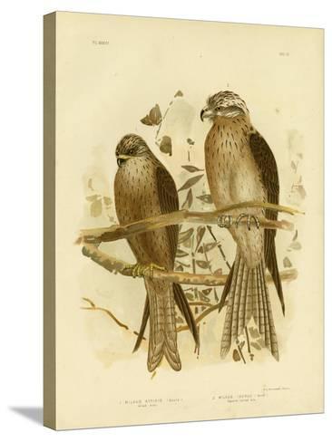 Allied Kite or Black Kite, 1891-Gracius Broinowski-Stretched Canvas Print