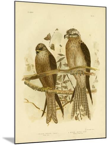 Allied Kite or Black Kite, 1891-Gracius Broinowski-Mounted Giclee Print