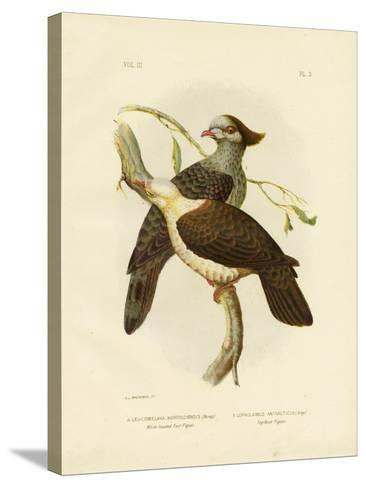 White-Headed Fruit Pigeon, 1891-Gracius Broinowski-Stretched Canvas Print