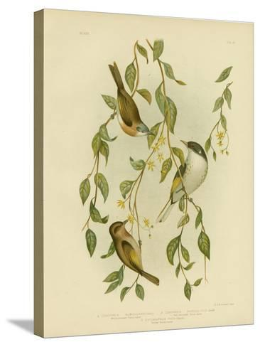 White-Throated Honeyeater, 1891-Gracius Broinowski-Stretched Canvas Print