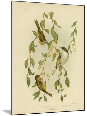 White-Throated Honeyeater, 1891-Gracius Broinowski-Mounted Giclee Print