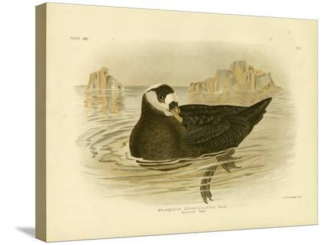 Spectacled Petrel, 1891-Gracius Broinowski-Stretched Canvas Print