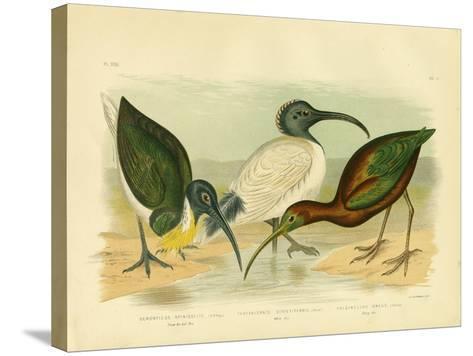 Straw-Necked Ibis, 1891-Gracius Broinowski-Stretched Canvas Print