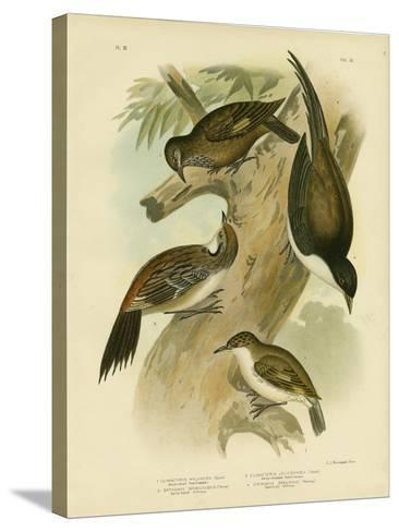 Black-Tailed Treecreeper, 1891-Gracius Broinowski-Stretched Canvas Print
