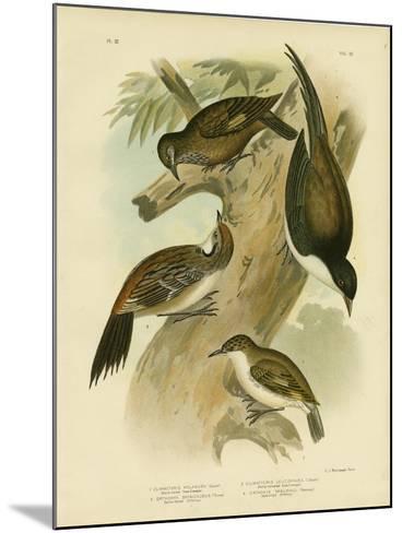 Black-Tailed Treecreeper, 1891-Gracius Broinowski-Mounted Giclee Print