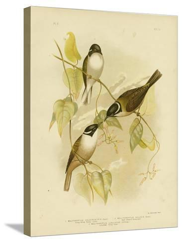 Strong-Billed Honeyeater, 1891-Gracius Broinowski-Stretched Canvas Print