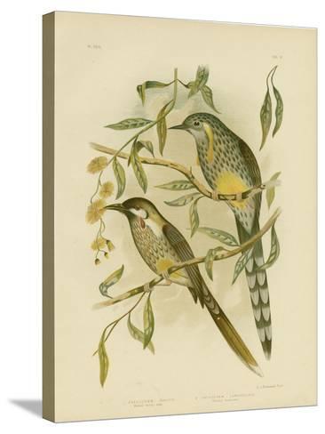 Yellow Wattlebird, 1891-Gracius Broinowski-Stretched Canvas Print