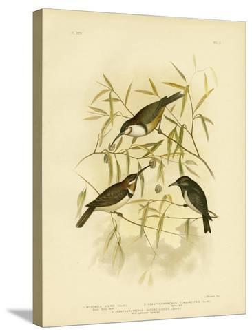 Black Honeyeater, 1891-Gracius Broinowski-Stretched Canvas Print