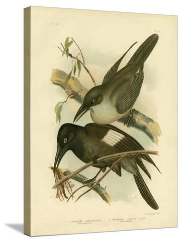 Grey Crow-Shrike, 1891-Gracius Broinowski-Stretched Canvas Print