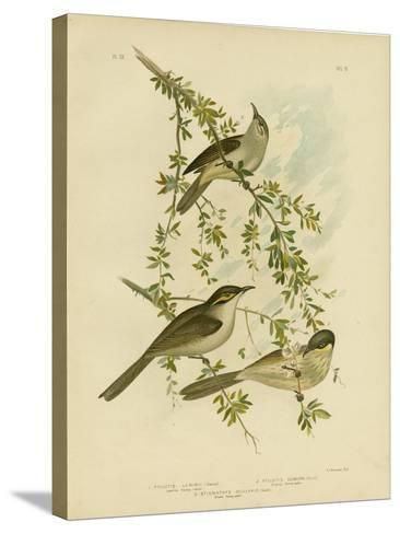 Lewin Honeyeater, 1891-Gracius Broinowski-Stretched Canvas Print