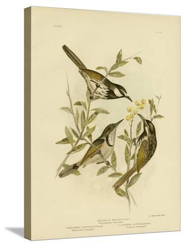 White-Cheeked Honeyeater, 1891-Gracius Broinowski-Stretched Canvas Print