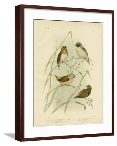 Chestnut-Breasted Finch, 1891-Gracius Broinowski-Framed Art Print