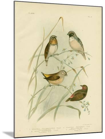 Chestnut-Breasted Finch, 1891-Gracius Broinowski-Mounted Giclee Print