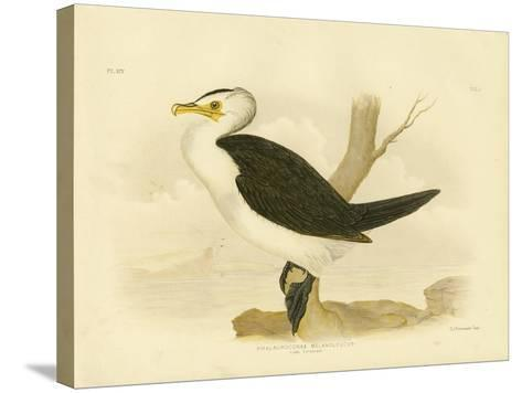 Little Cormorant, 1891-Gracius Broinowski-Stretched Canvas Print