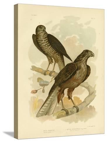 Radiated Goshawk, 1891-Gracius Broinowski-Stretched Canvas Print