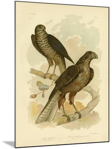 Radiated Goshawk, 1891-Gracius Broinowski-Mounted Giclee Print