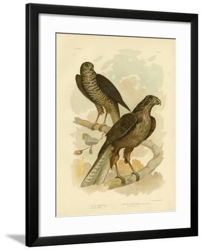 Radiated Goshawk, 1891-Gracius Broinowski-Framed Art Print