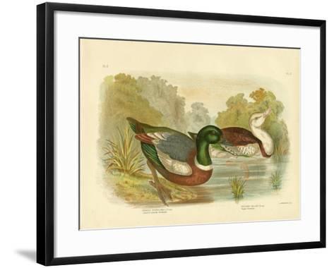 Chestnut-Colored Shieldrake or Australian Shelduck, 1891-Gracius Broinowski-Framed Art Print