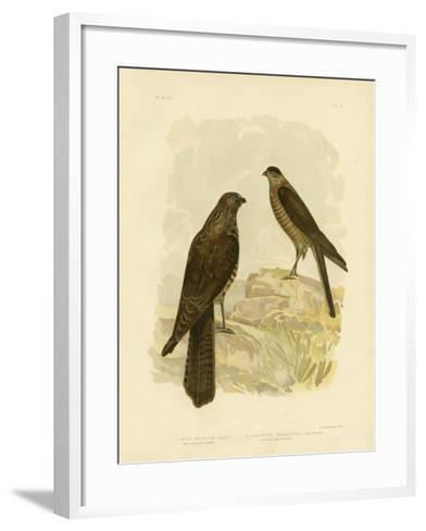 West-Australian Goshawk, 1891-Gracius Broinowski-Framed Art Print