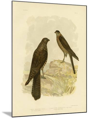 West-Australian Goshawk, 1891-Gracius Broinowski-Mounted Giclee Print