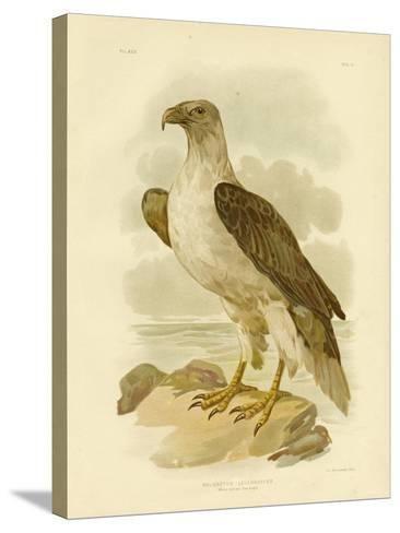White-Bellied Sea Eagle, 1891-Gracius Broinowski-Stretched Canvas Print