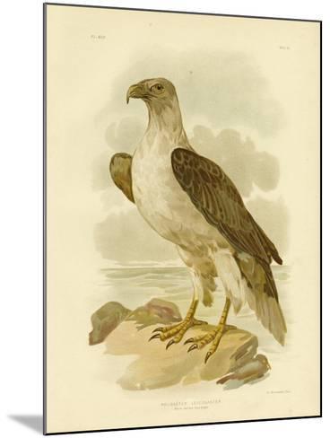 White-Bellied Sea Eagle, 1891-Gracius Broinowski-Mounted Giclee Print