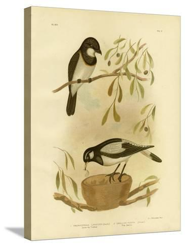 White-Breasted Whistler, 1891-Gracius Broinowski-Stretched Canvas Print