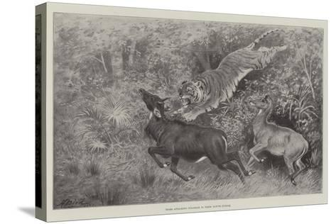 Tiger Attacking Nylghaie in their Native Jungle-Harrington Bird-Stretched Canvas Print