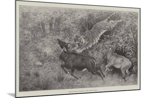 Tiger Attacking Nylghaie in their Native Jungle-Harrington Bird-Mounted Giclee Print